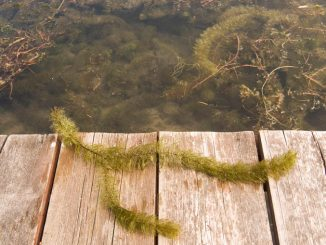 The invasive species Eurasian milfoil has posed a problem in local waterways like Little York Lake, where it grows rampantly and needs to be cut back periodically.